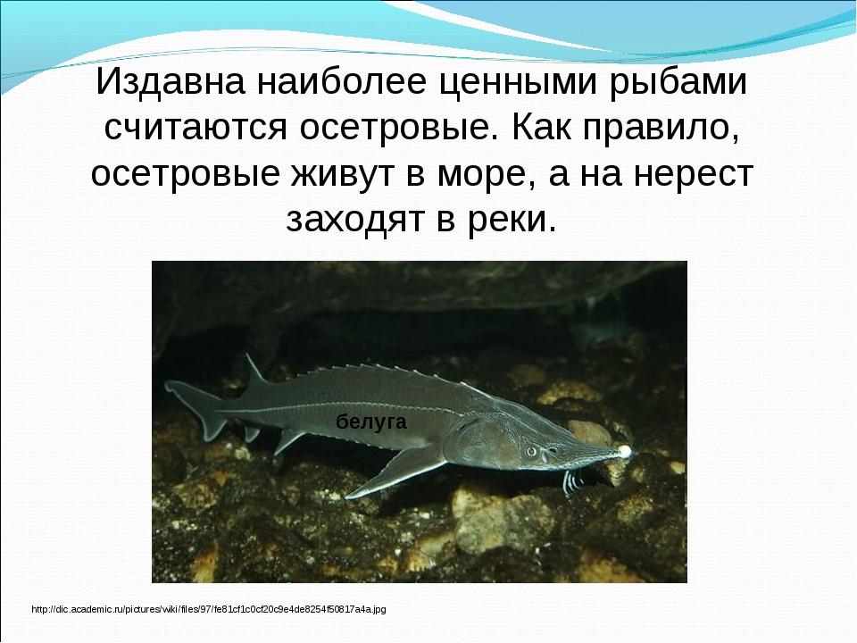 Издавна наиболее ценными рыбами считаются осетровые. Как правило, осетровые ж...