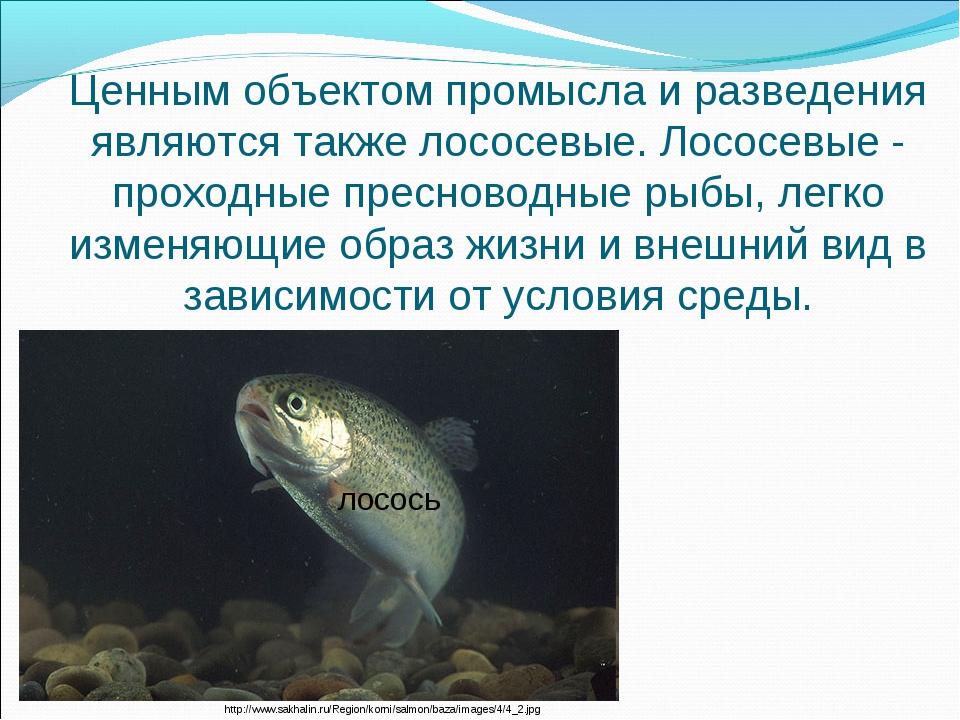 Ценным объектом промысла и разведения являются также лососевые. Лососевые - п...