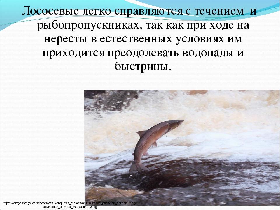 Лососевые легко справляются с течением и рыбопропускниках, так как при ходе н...