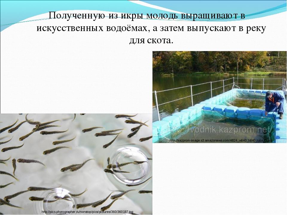 Полученную из икры молодь выращивают в искусственных водоёмах, а затем выпуск...