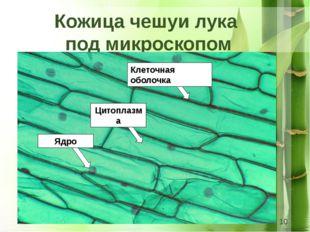 Кожица чешуи лука под микроскопом Клеточная оболочка Ядро Цитоплазма