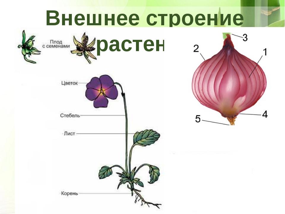 внешнее строение растения картинки что