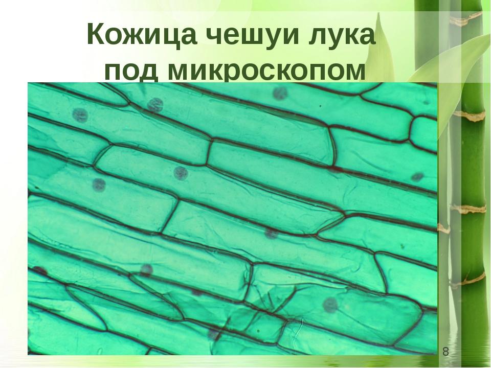 Кожица чешуи лука под микроскопом
