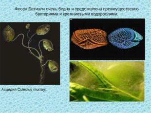 Флора Батиали очень бедна и представлена преимущественно бактериями и кремние