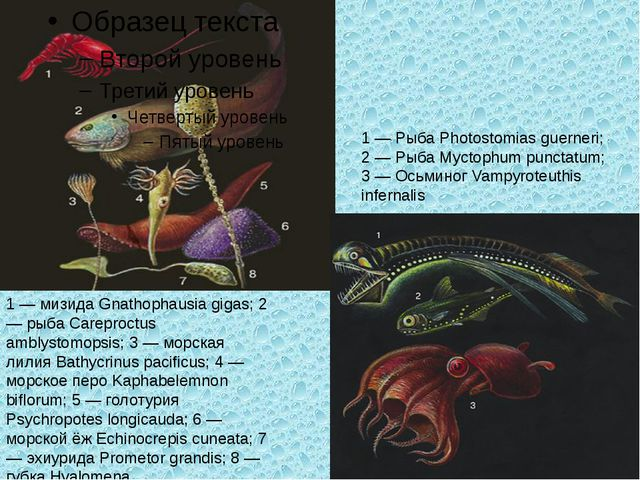 1 — мизида Gnathophausia gigas; 2 — рыба Careproctus amblystomopsis; 3 — морс...