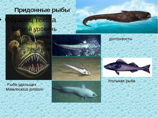 Придонные рыбы Рыба-удильщик Melanocetus jonstoni. долгохвосты Угольная рыба