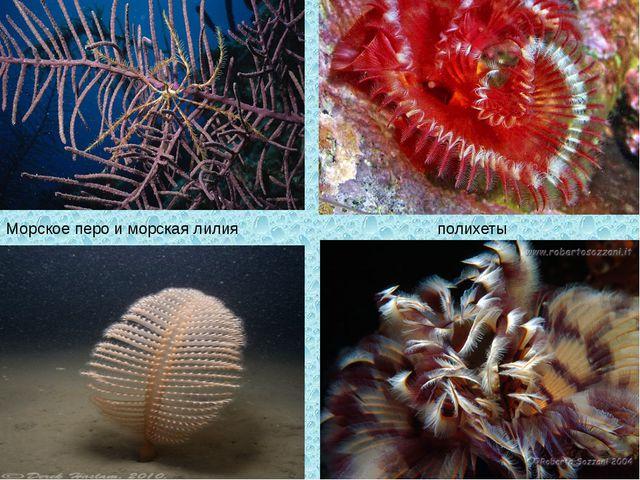 Морское перо и морская лилия полихеты