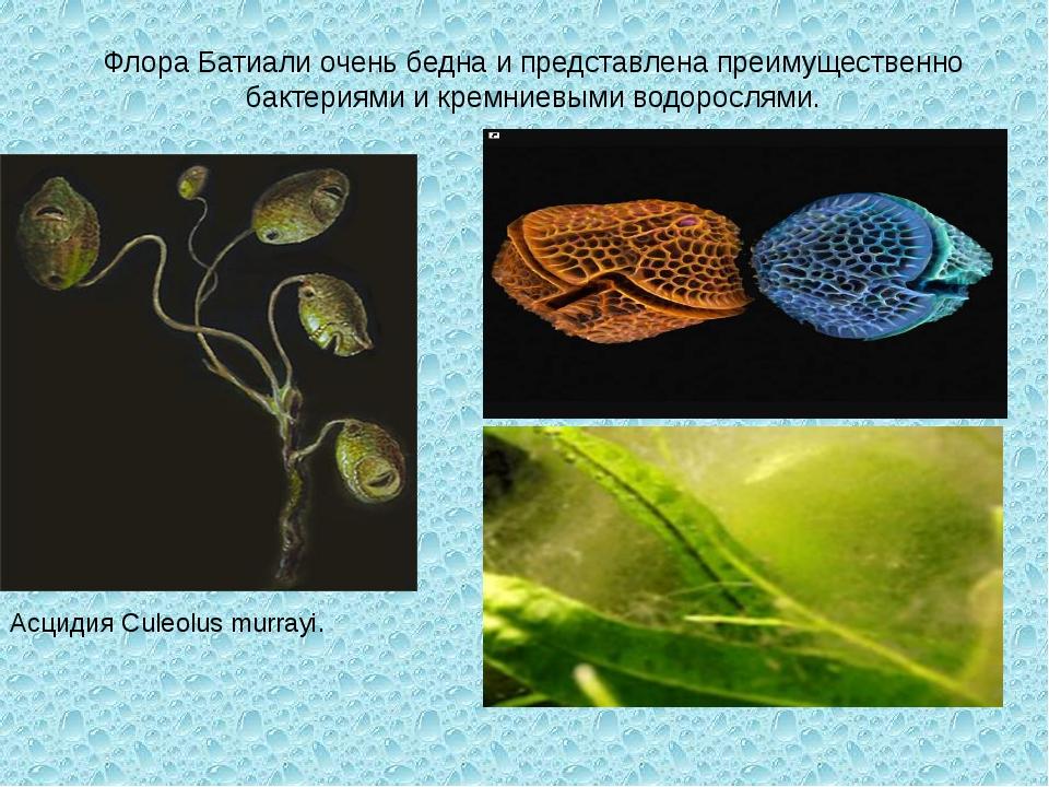 Флора Батиали очень бедна и представлена преимущественно бактериями и кремние...