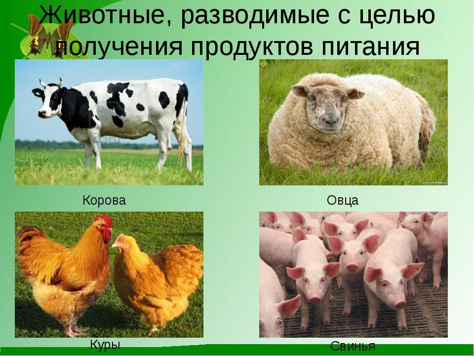 Животные, разводимые с целью получения продуктов питания Корова Овца Куры Сви...