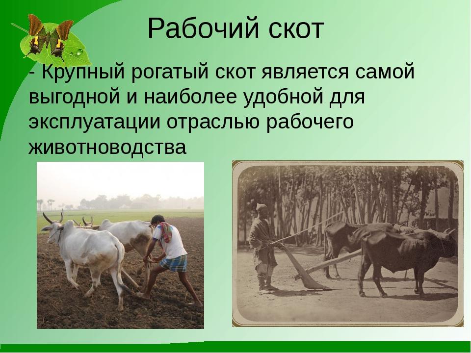 Рабочий скот - Крупный рогатый скот является самой выгодной и наиболее удобно...