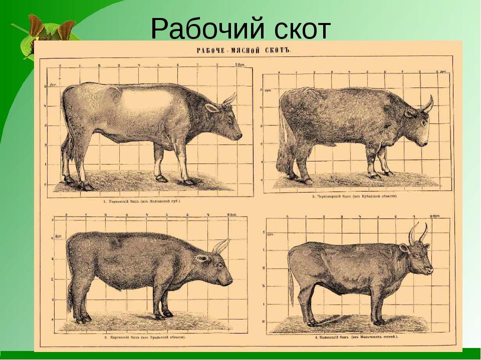Рабочий скот
