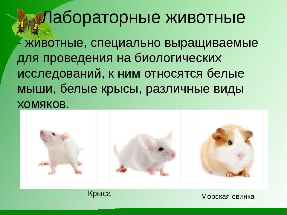 Лабораторные животные - животные, специально выращиваемые для проведения на б...
