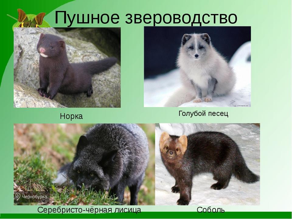 Пушное звероводство Норка Голубойпесец Серебристо-чёрнаялисица Соболь