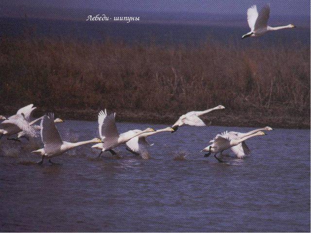 Лебеди- шипуны