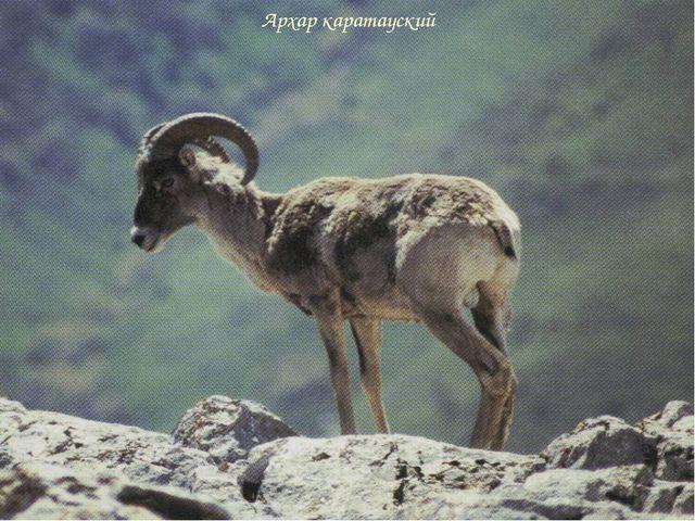 Архар каратауский