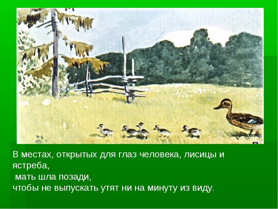 В местах, открытых для глаз человека, лисицы и ястреба, мать шла позади, чтоб...