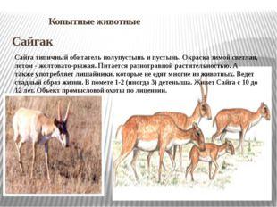Копытные животные Сайгак Сайга типичный обитатель полупустынь и пустынь. Окр