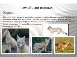 семейство псовых Корсак Корсак – очень мелкий, похожий на лисицу, серый, неб