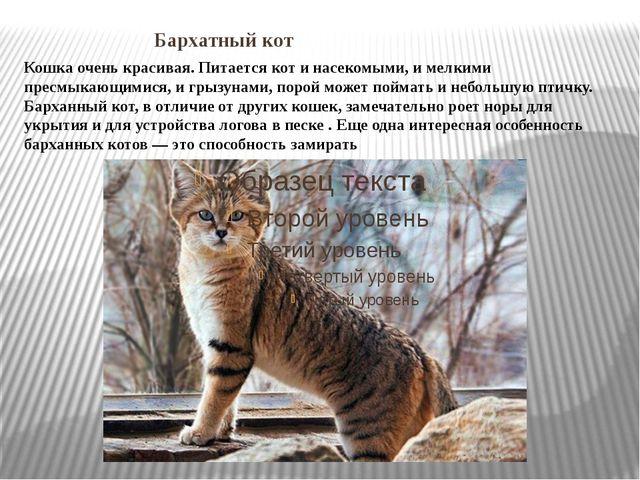 Бархатный кот Кошка очень красивая. Питается кот и насекомыми, и мелкими пре...