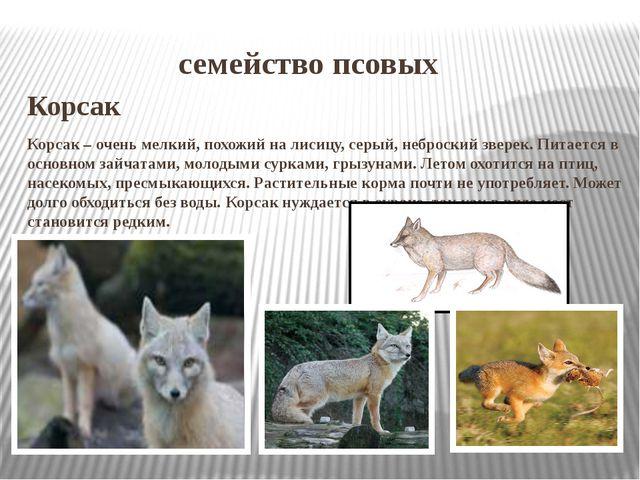 семейство псовых Корсак Корсак – очень мелкий, похожий на лисицу, серый, неб...
