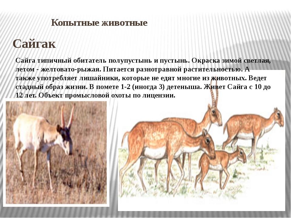 Копытные животные Сайгак Сайга типичный обитатель полупустынь и пустынь. Окр...