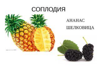 СОПЛОДИЯ АНАНАС ШЕЛКОВИЦА