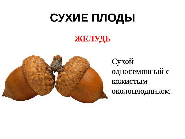 СУХИЕ ПЛОДЫ ЖЕЛУДЬ Сухой односемянный с кожистым околоплодником.