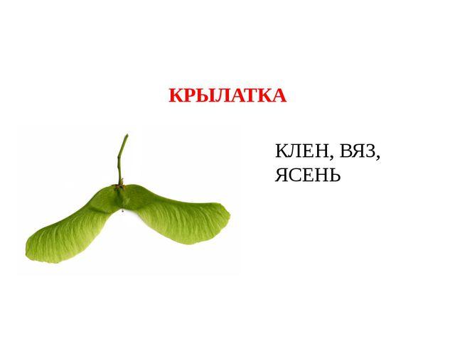 КРЫЛАТКА КЛЕН, ВЯЗ, ЯСЕНЬ