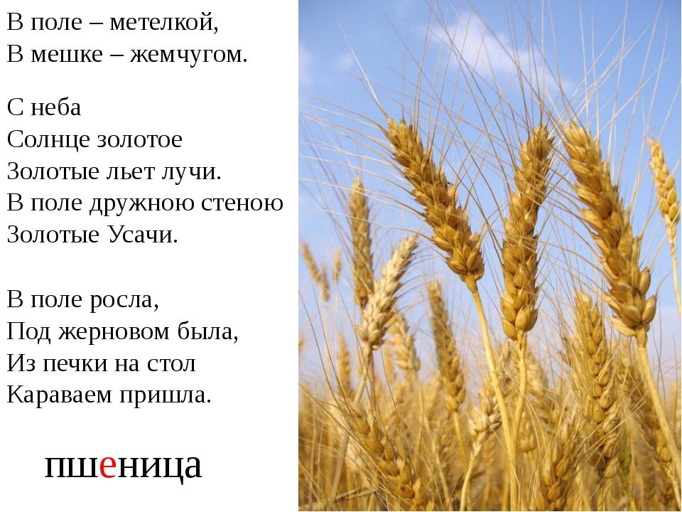 пшеница В поле – метелкой, В мешке – жемчугом. С неба Солнце золотое Золотые...