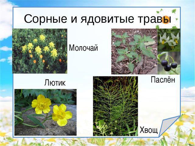Сорные и ядовитые травы Паслён Лютик Хвощ Молочай