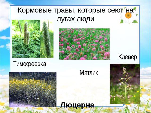 Кормовые травы, которые сеют на лугах люди Клевер Люцерна Мятлик Тимофеевка