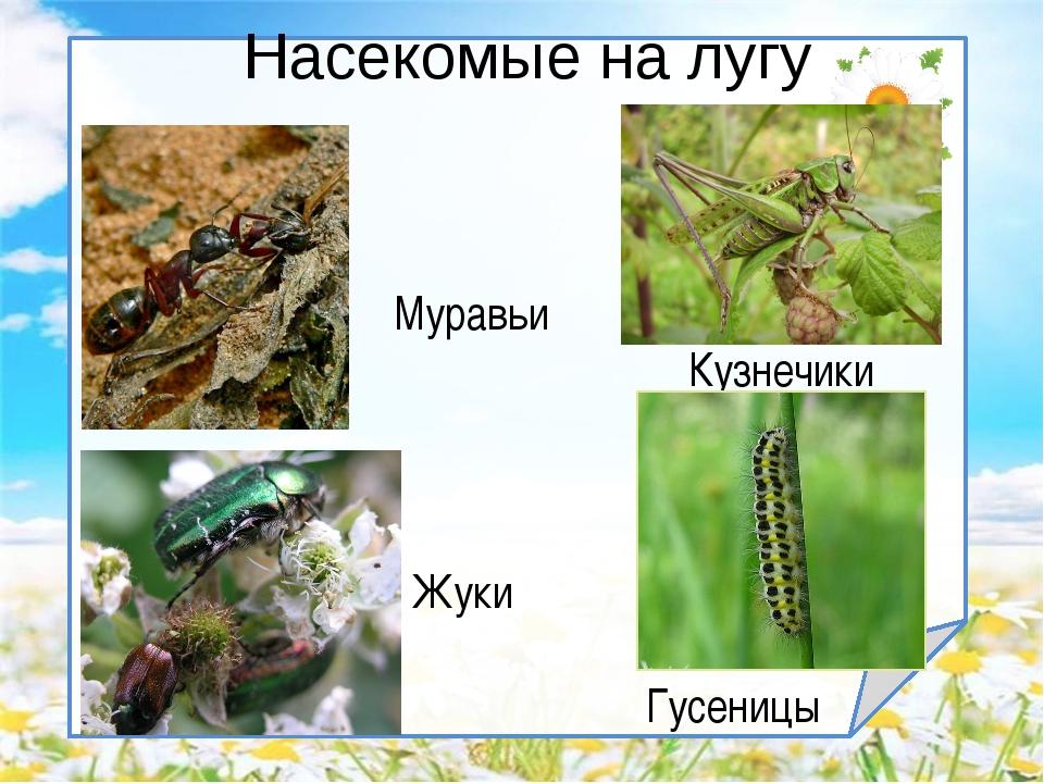 Насекомые на лугу Кузнечики Гусеницы Жуки Муравьи