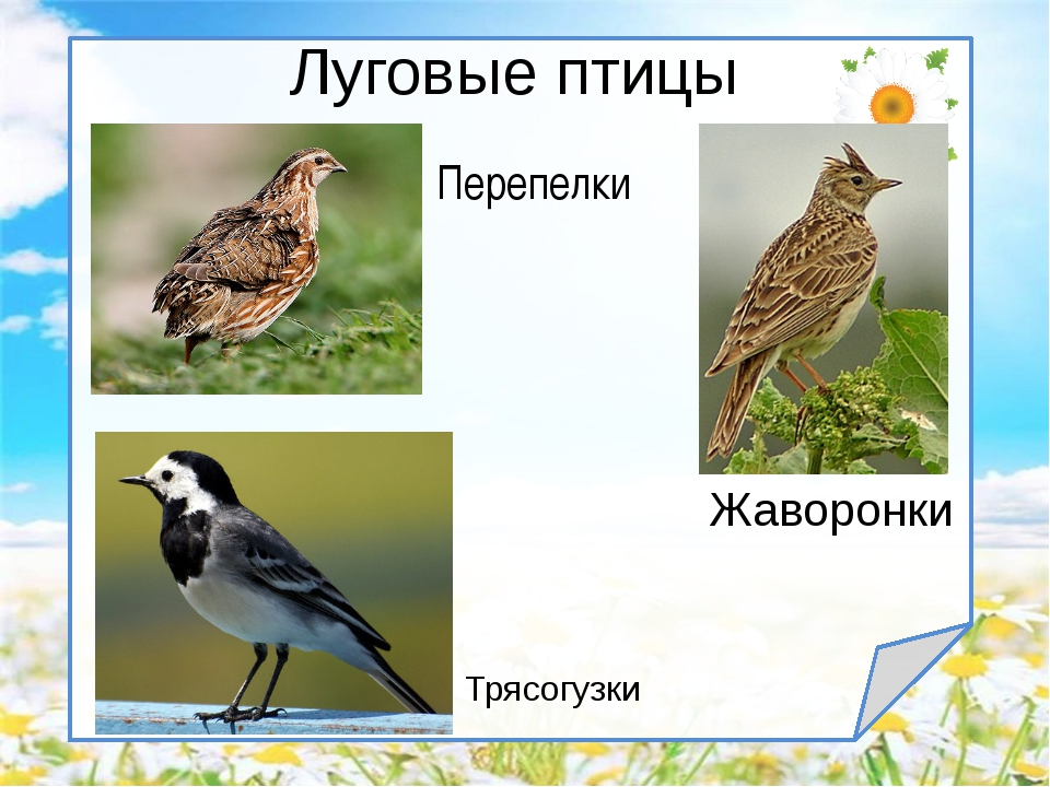 Птицы луга картинки с названиями