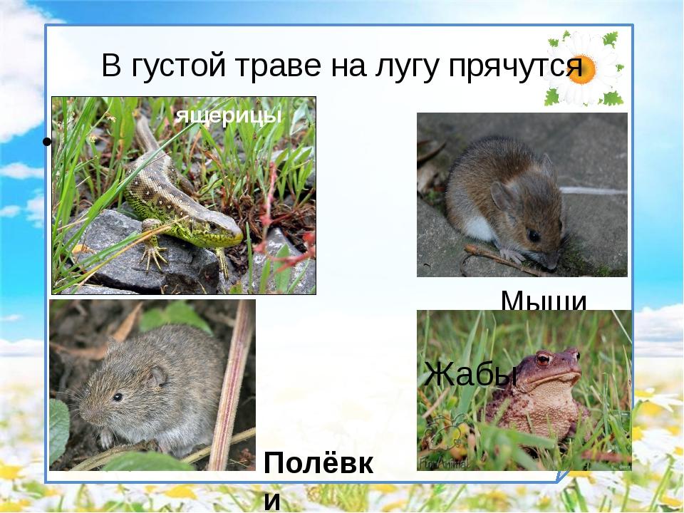 В густой траве на лугу прячутся Мыши Полёвки Жабы ящерицы