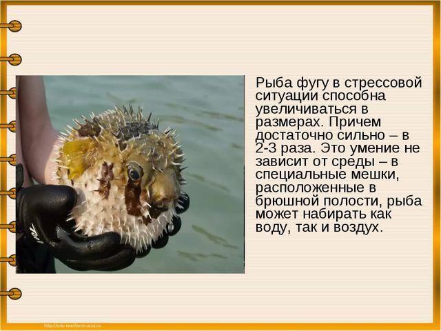 Рыба фугу в стрессовой ситуации способна увеличиваться в размерах. Причем до...