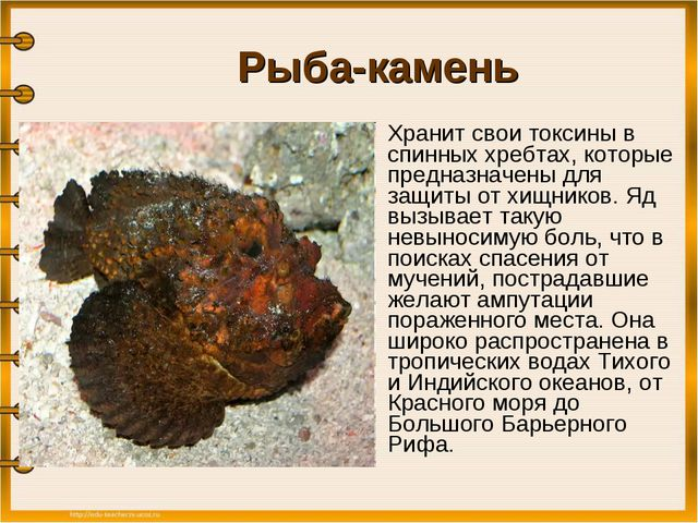Рыба-камень Хранит свои токсины в спинных хребтах, которые предназначены дл...
