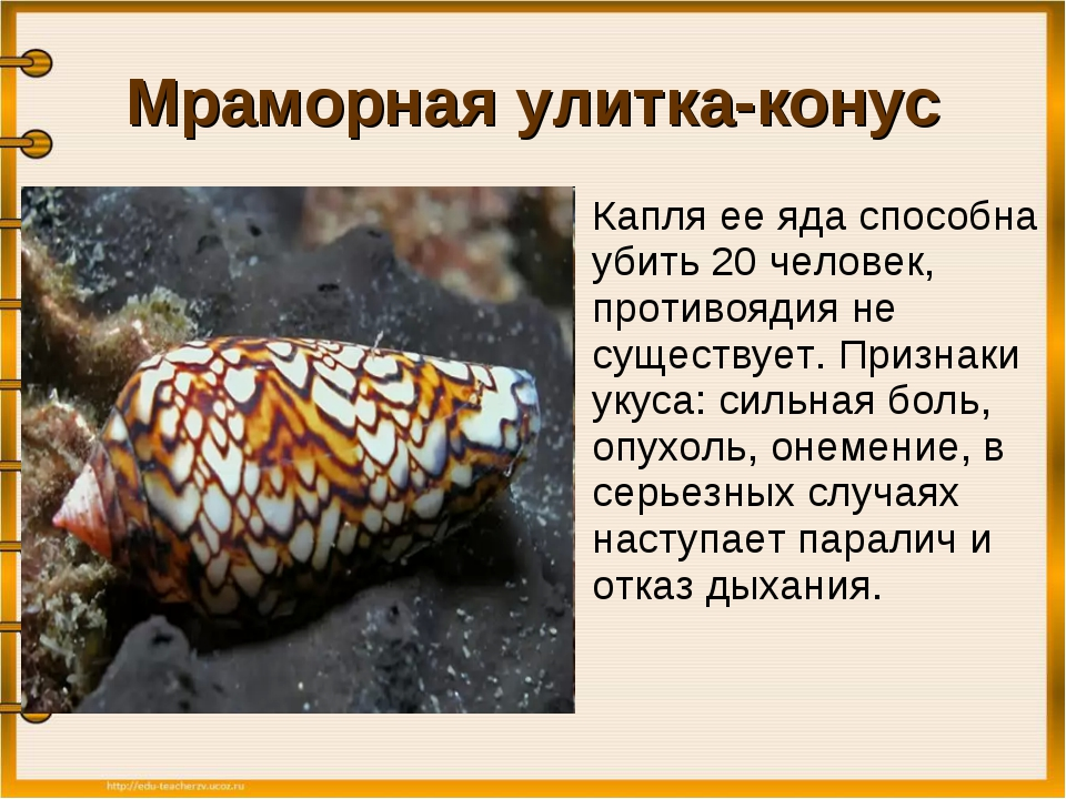 Мраморная улитка-конус Капля ее яда способна убить 20 человек, противоядия н...