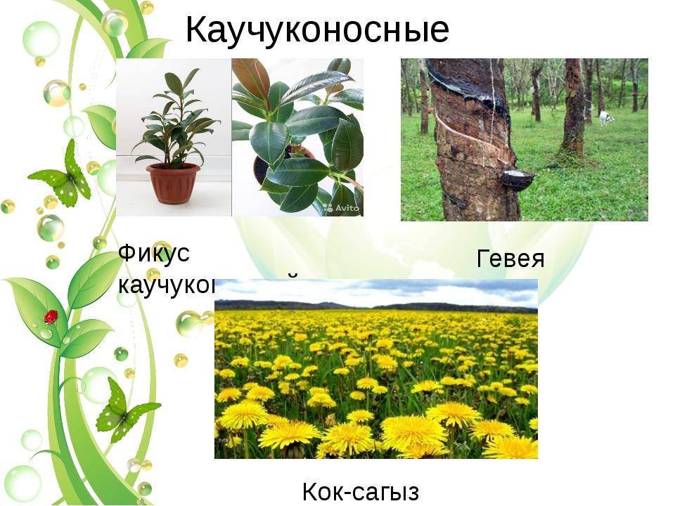 Каучуконосные Фикус каучуконосный Гевея Кок-сагыз