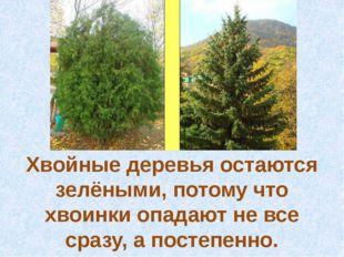 Хвойные деревья остаются зелёными, потому что хвоинки опадают не все сразу, а