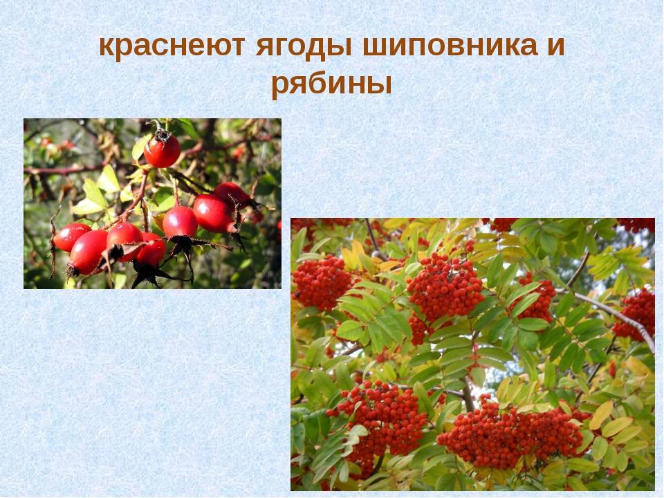 краснеют ягоды шиповника и рябины