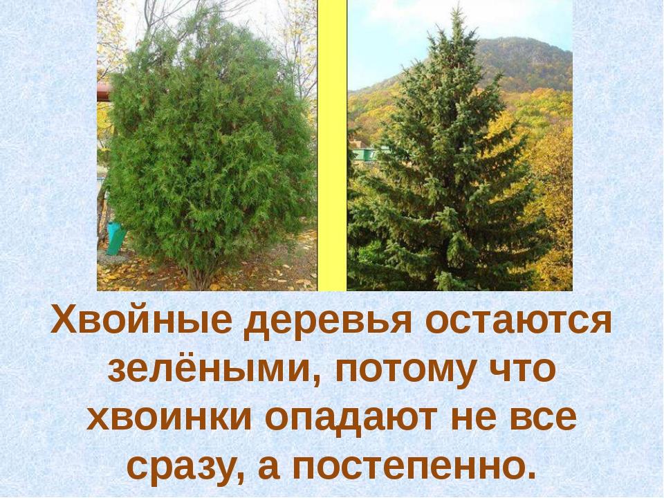 Хвойные деревья остаются зелёными, потому что хвоинки опадают не все сразу, а...