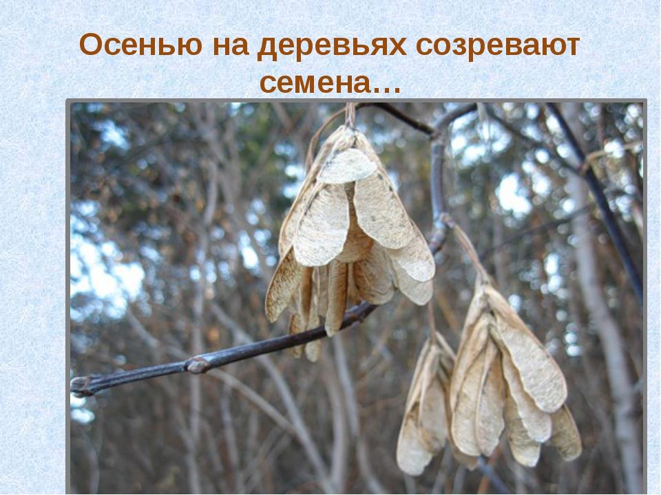 Осенью на деревьях созревают семена…