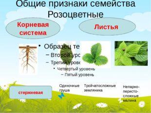 Общие признаки семейства Розоцветные Корневая система Листья стержневая Одино