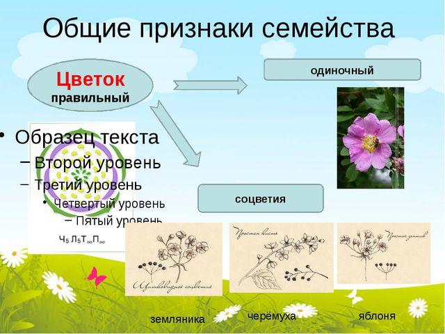 Общие признаки семейства Цветок правильный одиночный соцветия земляника черём...