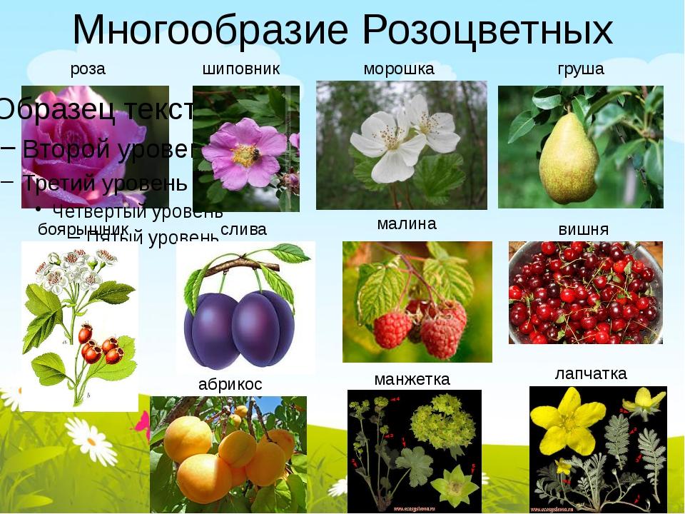 Многообразие Розоцветных роза шиповник морошка груша боярышник слива малина в...