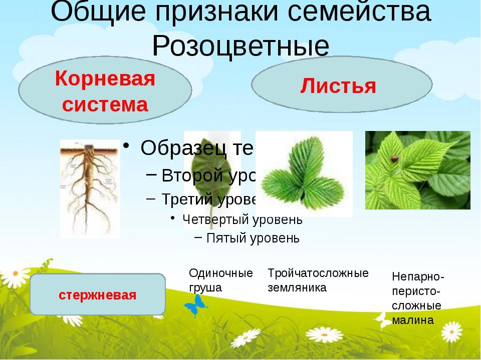 Общие признаки семейства Розоцветные Корневая система Листья стержневая Одино...