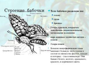Строение бабочки Тело бабочки разделено на: голову грудь брюшко 2 пары крылье