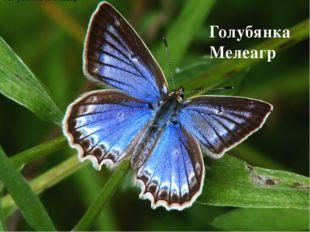 Голубянка Мелеагр