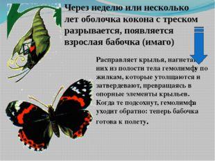 Расправляет крылья, нагнетая в них из полости тела гемолимфу по жилкам, котор