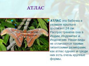 АТЛАС АТЛАС эта бабочка в размахе крыльев достигает 24 см. Распространена она